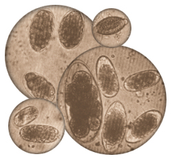 strongylid oocytes